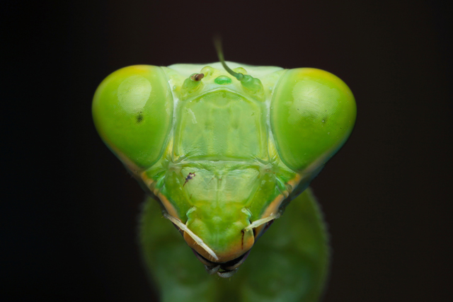 Green mantis portrait