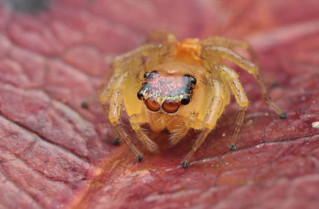 Setae scales on jumping spider´s cephalothorax