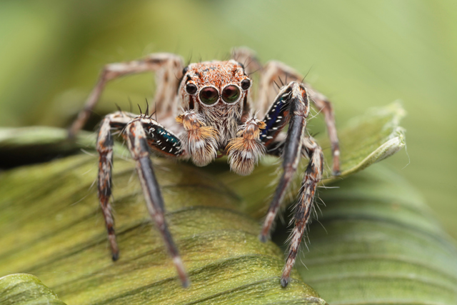 Plexippus petersi jumping spider from Koh Samui