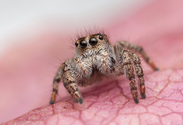 Baryphas ahenus female jumping spider South Africa