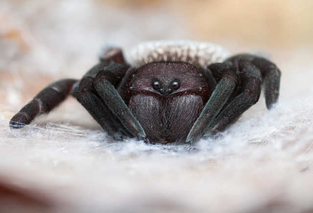 Gandanameno velvet spider from South Africa