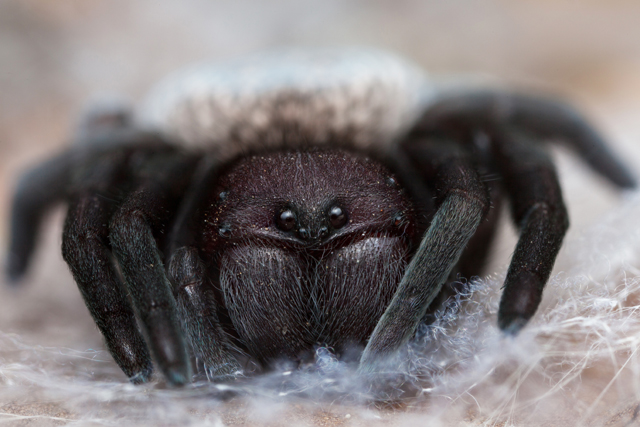Close-up of Gandanameno velvet spider from South Africa