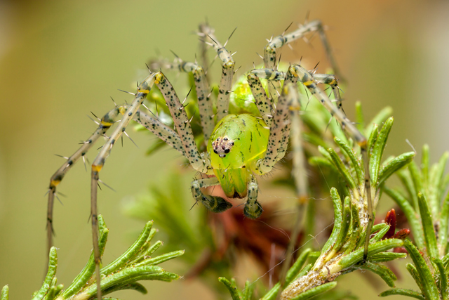 Green lynx spider oxiopidae from South Africa habitus