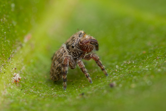 rhene jumping spider side view