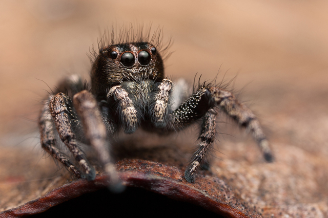 Baryphas ahenus male jumping spider South Africa