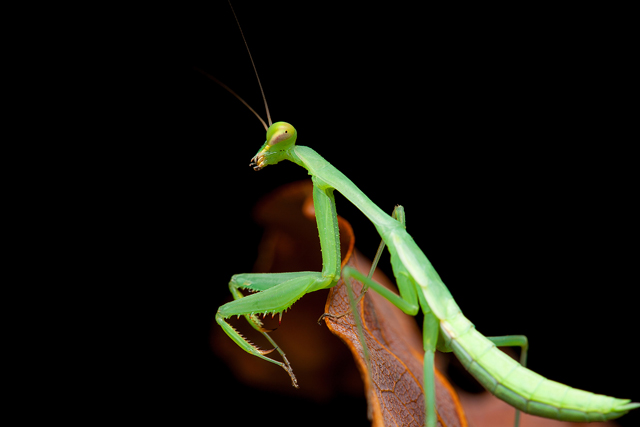 green mantis from South Africa
