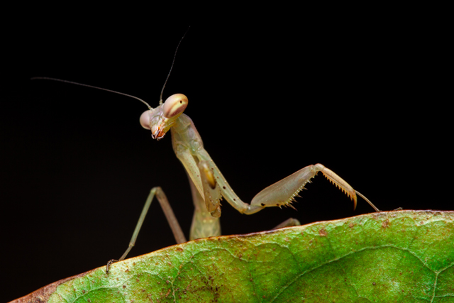 mantis on leaf