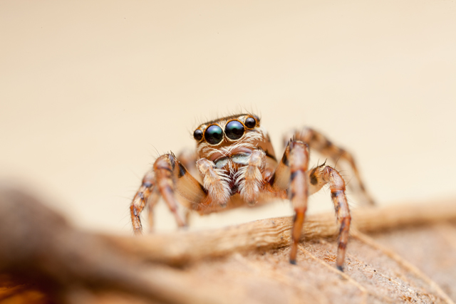 female Thyenula jumping spider from South Africa