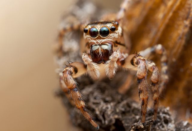 frontal view of female Thyenula jumping spider from South Africa