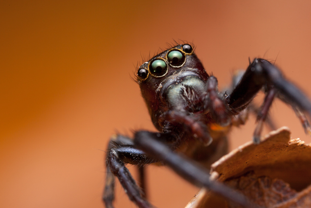 Thyenula jumping spider from South Africa