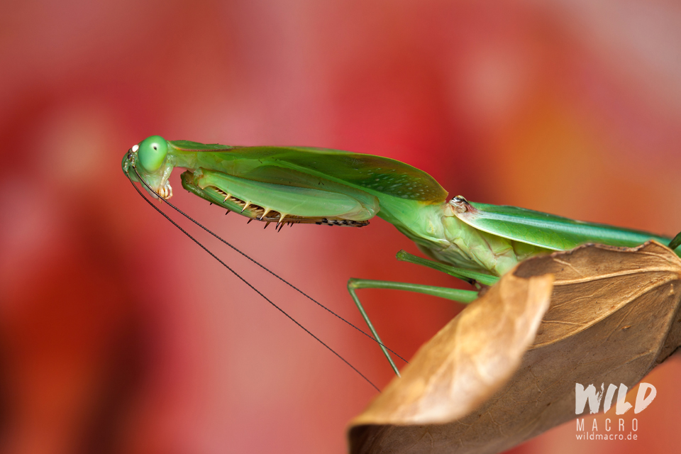 Choeradodis Praying mantis