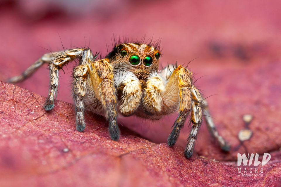 Aelurillus V-insignitus jumping spider from southern France