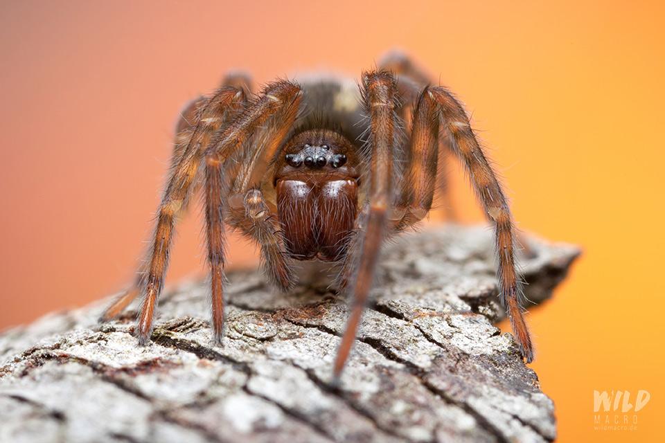 Amaurobius ferox spider