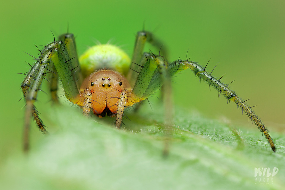 female cucumber green spider