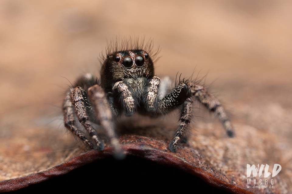 Baryphas ahenus jumping spider male from South Africa