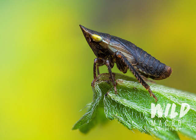 black planthopper with spiky head