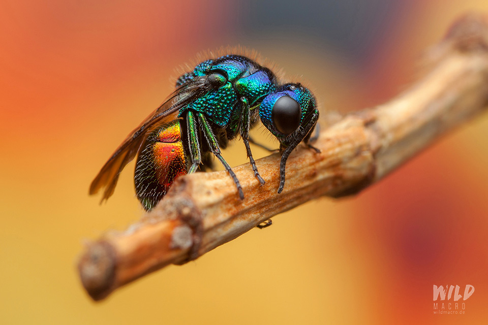 Chrysis ignata Goldwespe cuckoo wasp