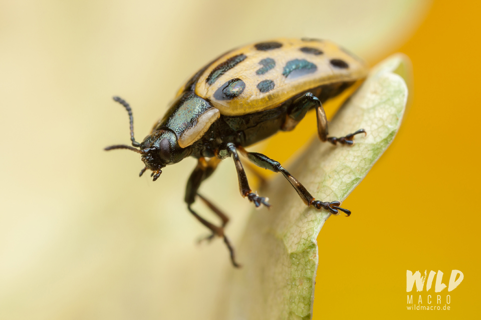 Spotted willow leaf beetle (Chrysomela vigintipunctata)