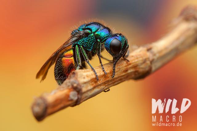 Goldwespe (chrysis ignata) colourful metallic cuckoo wasp