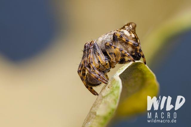 cyclosa conica spider