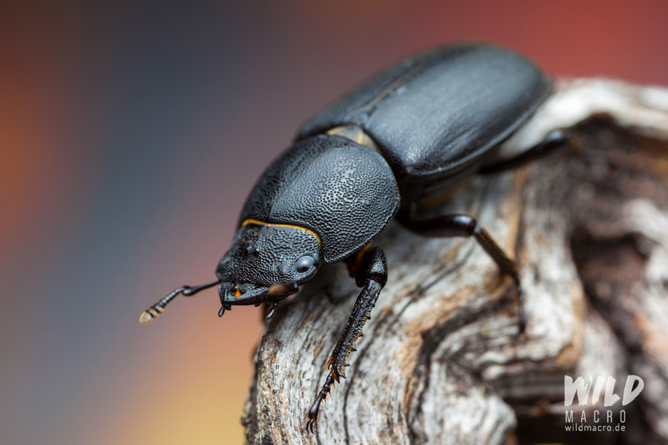 Lesser stag beetle (Dorcus parallelipipedus) male