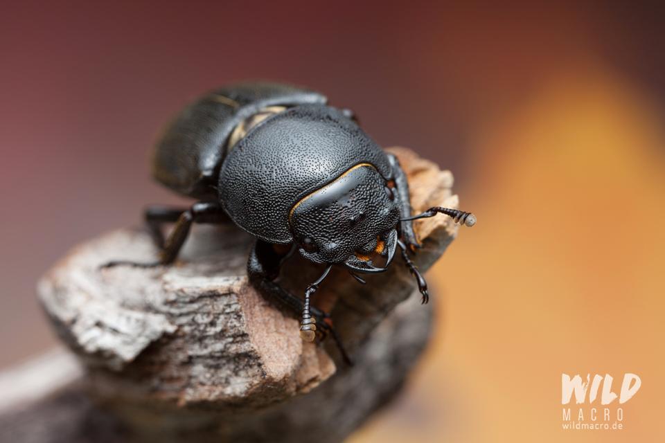 Lesser stag beetle (Dorcus parallelipipedus)