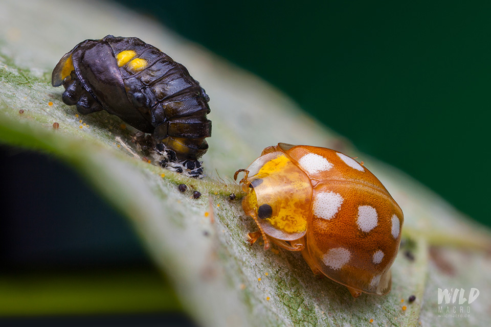 stages of a ladybird lifecycle