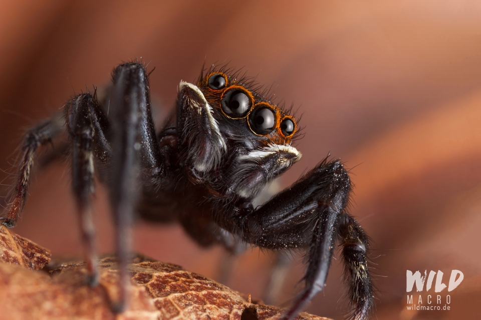 Hasarius adansoni male jumping spider from South Africa