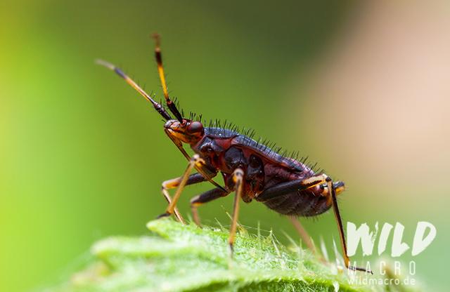 larva of deraeocoris ruber