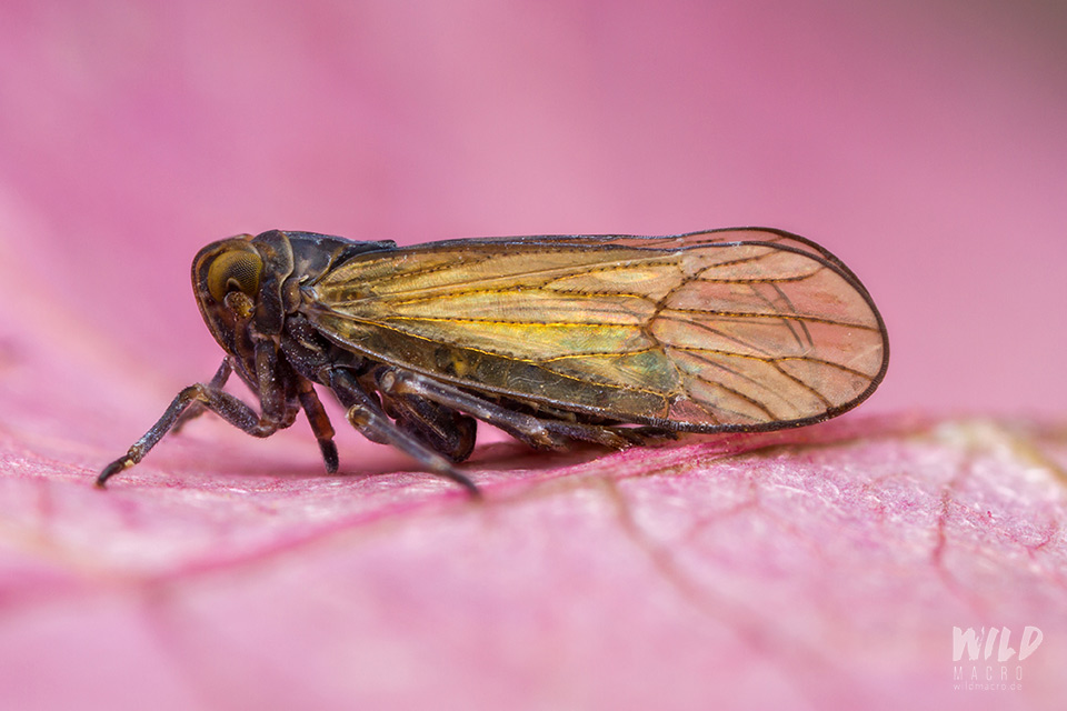black leafhopper