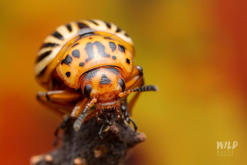 potato beetle leptinotarsa decemlineata Kartoffelkäfer