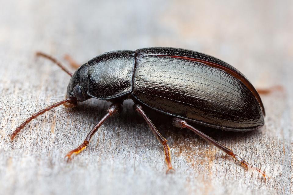 Nalassus laevioctostriatus