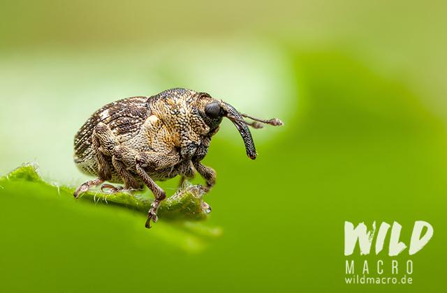 Weevil nedyus quadrimaculatus