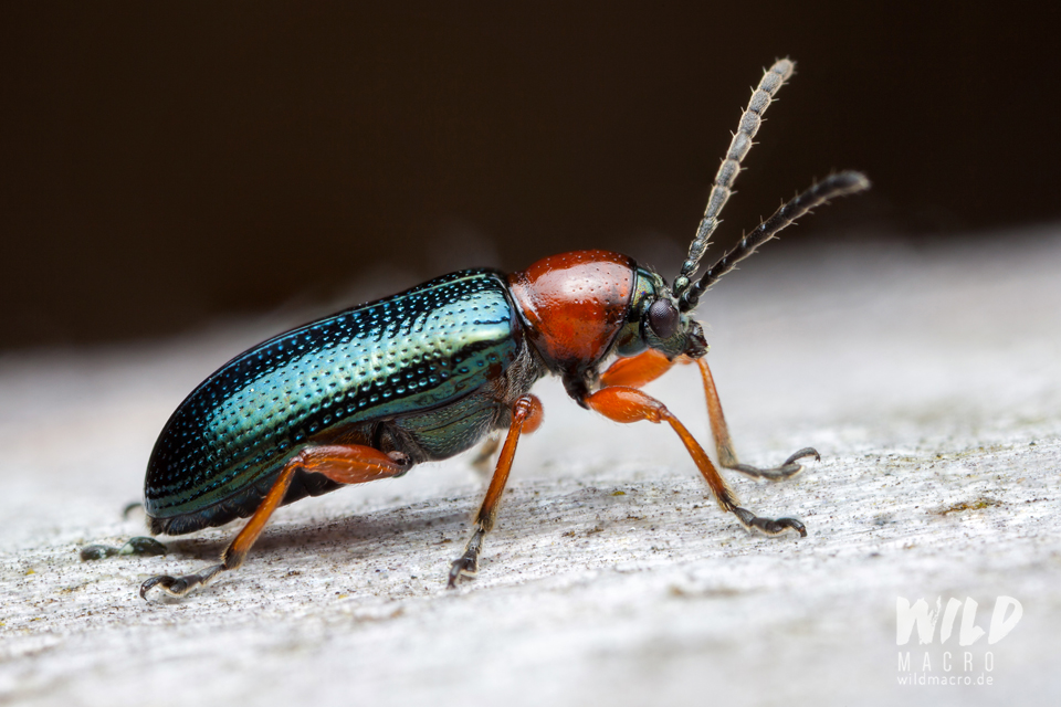 Cereal leaf beetle (Oulema melanopus)