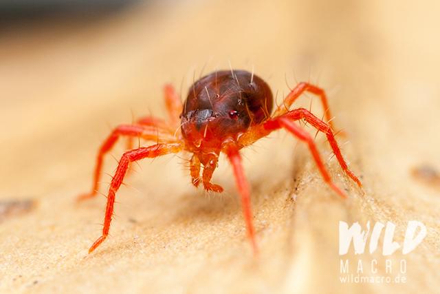 predatory red mite (Raubmilbe)