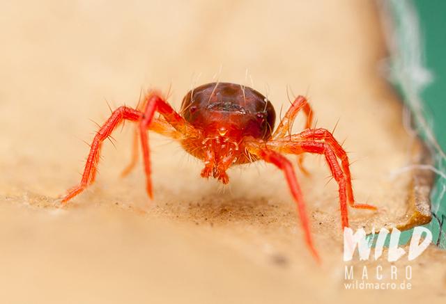 predatory red mite