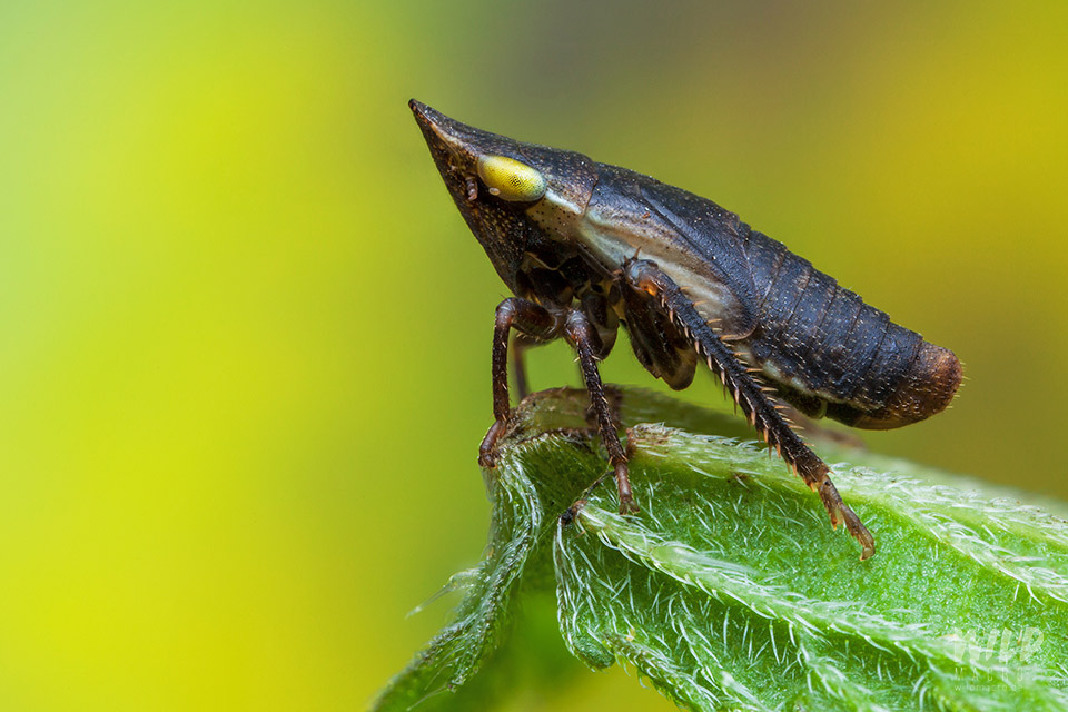 planthopper with spiky head
