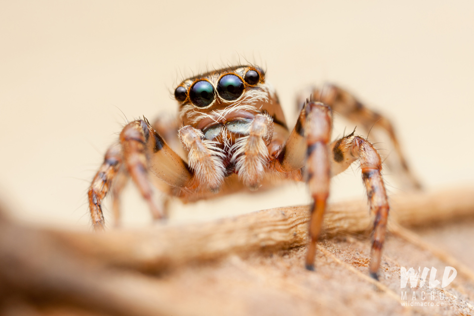 Thyenula jumping spider species