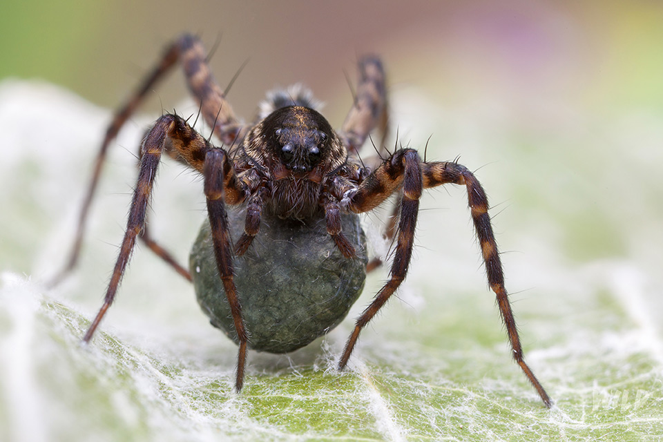Wolf spider carrying an eggsac
