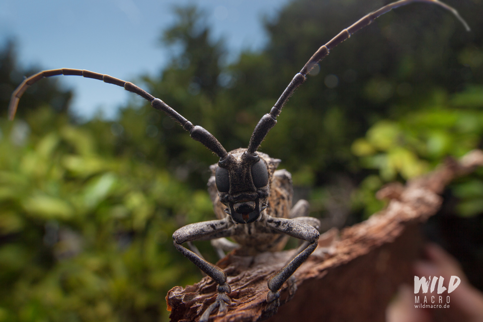 Fig tree borer longhorn beetle