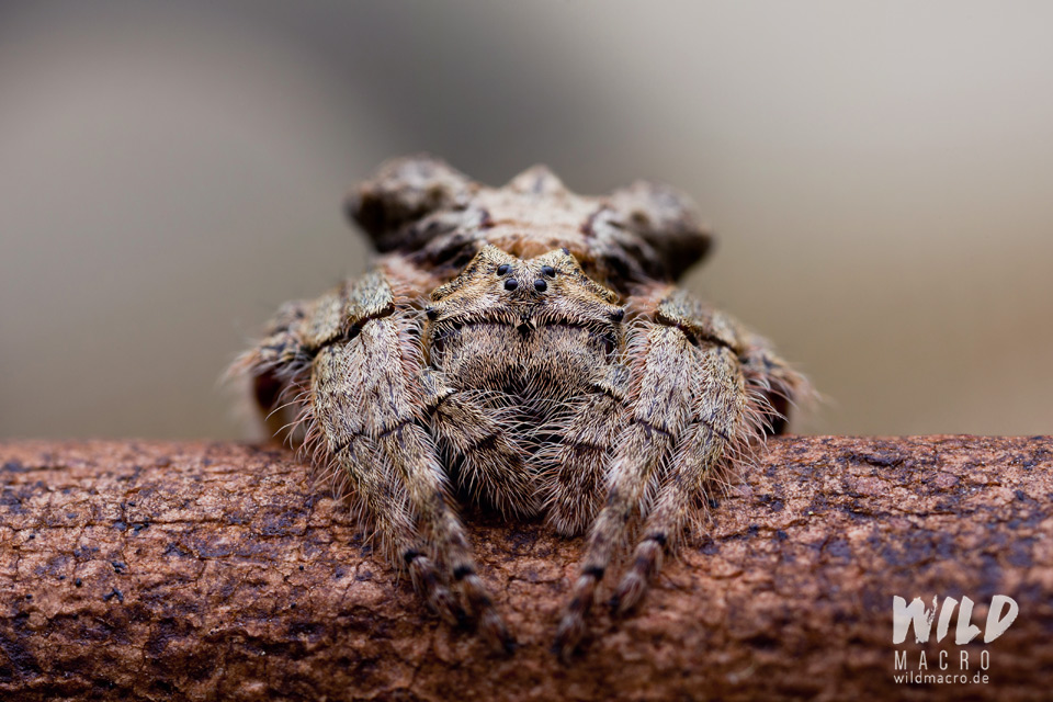 Bark spider (Caerostris sexcuspidata)