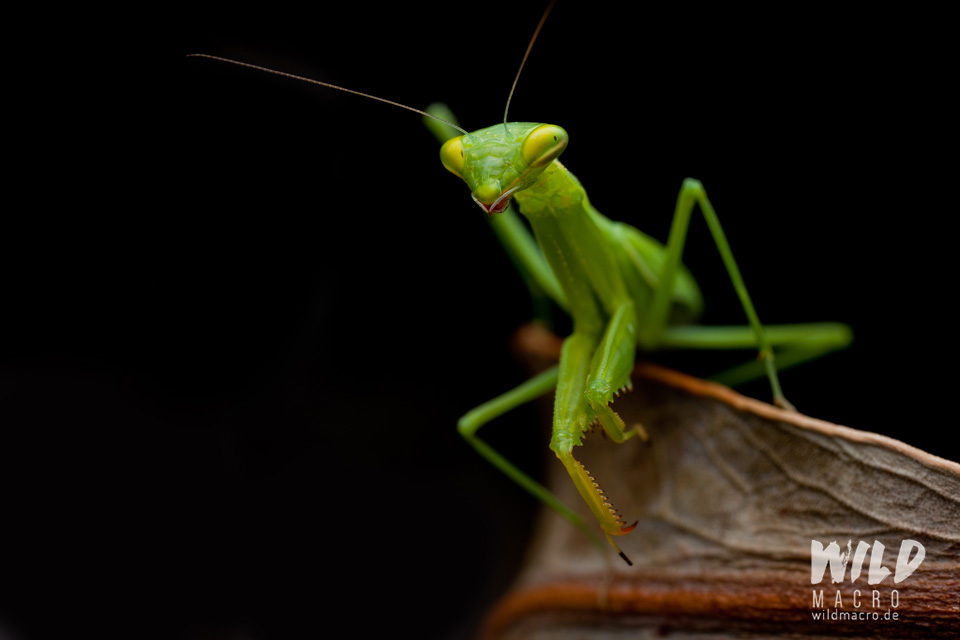 Miomantis sp. Praying mantis