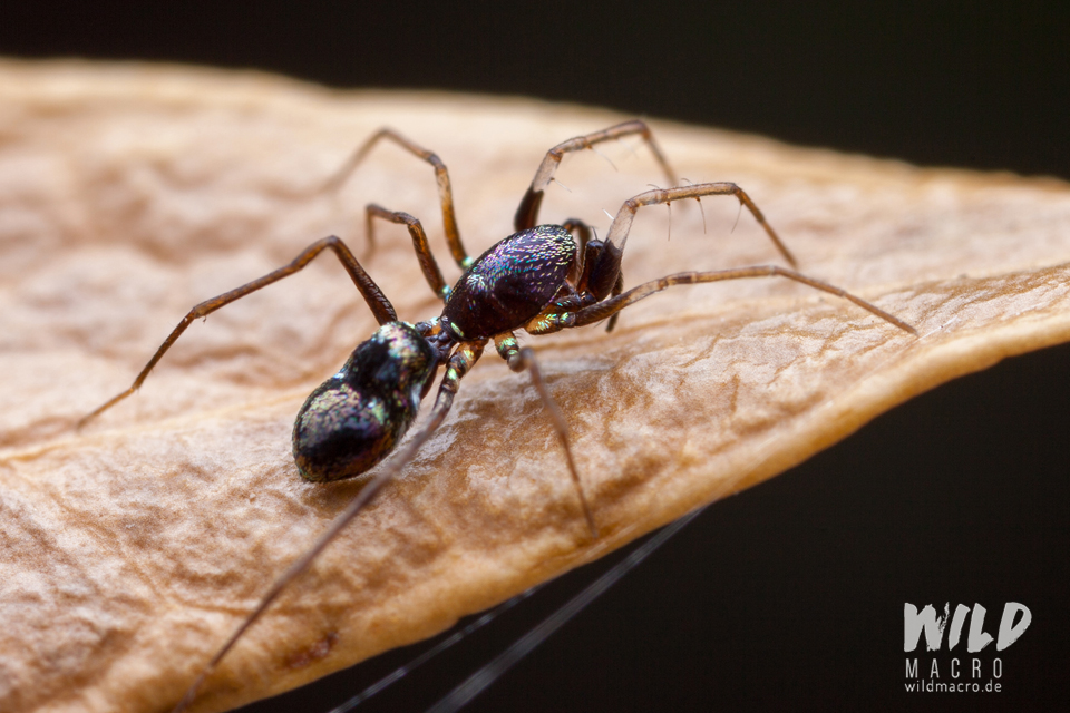 Colourful Micaria species ant-mimicking spider from South Africa