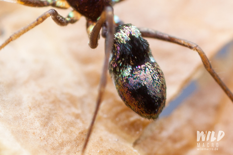 Detail shot of abdomen of colourful Micaria species ant-mimicking spider from South Africa