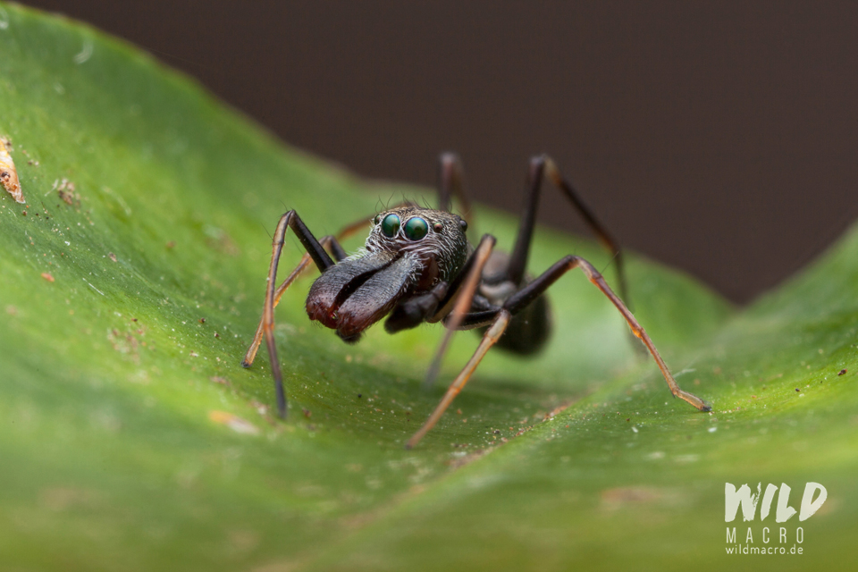 Myrmarachne marshalli ant-mimicking Jumping spider from South Africa