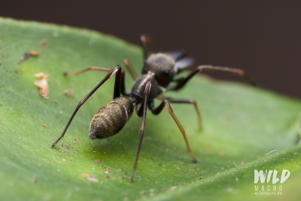 Abdomen of Myrmarachne marshalli ant-mimicking Jumping spider from South Africa