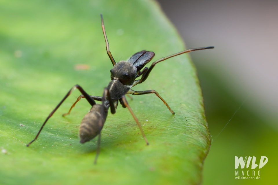 Elongated chelicerae of Myrmarachne marshalli ant-mimicking Jumping spider from South Africa