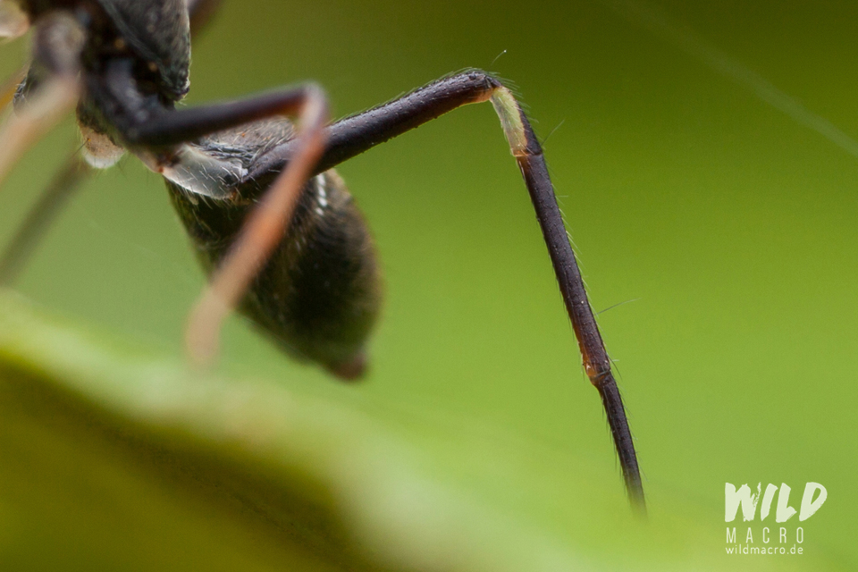 Detail of translucent leg of Myrmarachne marshalli ant-mimicking Jumping spider from South Africa