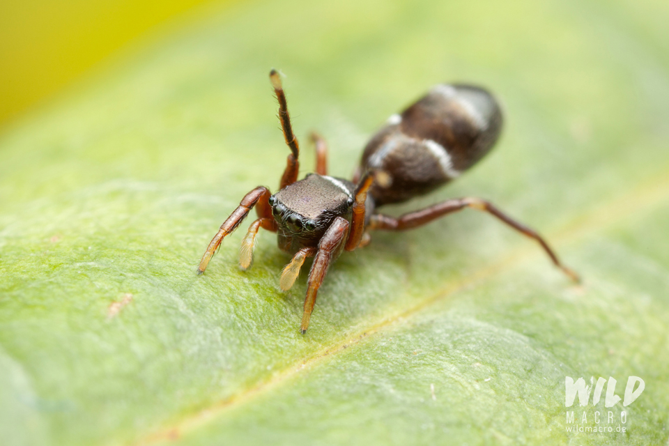 Synageles venator ant-mimicking jumping spider using legpair 2 as antennae