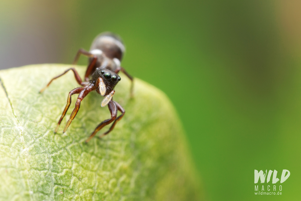 Synageles venator ant-mimicking jumping spider from Germany